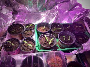 Chilin taimet ruukuissa kasvivalon alla